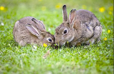 Rabbit disease (copy)