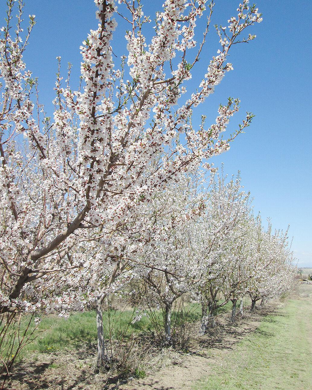 almonds bloom UI Parma 041521JPG.JPG