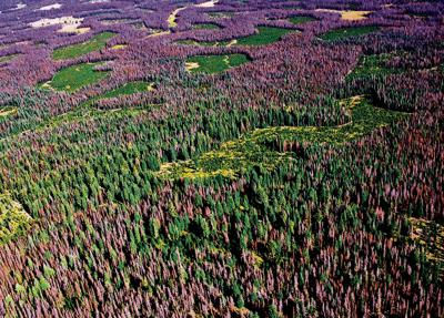 Senators request efforts against pine beetle invasion