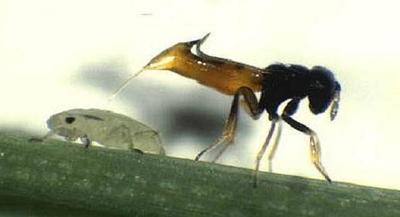 Parasitic wasp Aphelinus asychis (copy)