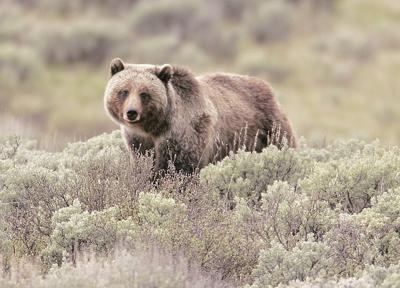 North Cascade grizzly bear restoration considered