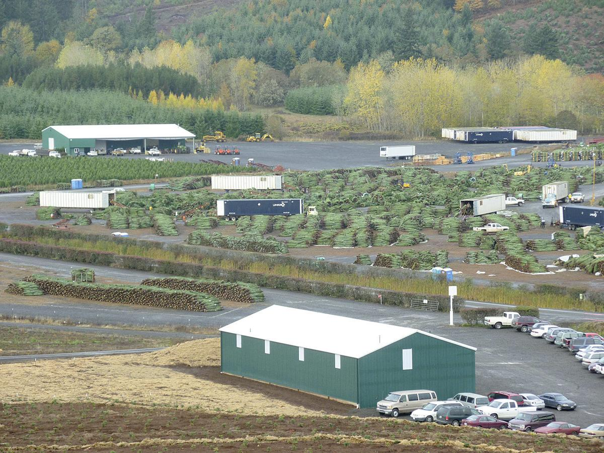 Rain gives Christmas trees boost before harvest