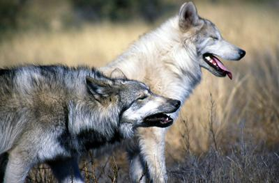 Wolves kill guard dog at SW Oregon ranch