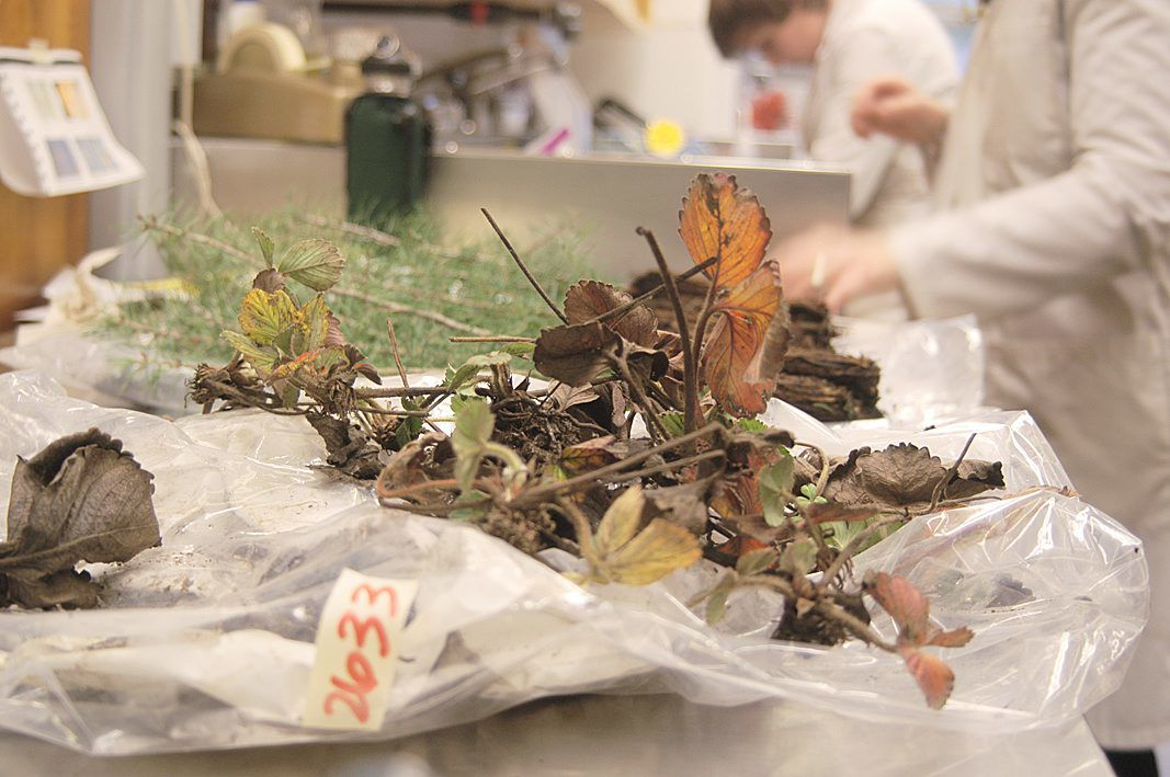 Diagnosing plant diseases is 'a detective task'