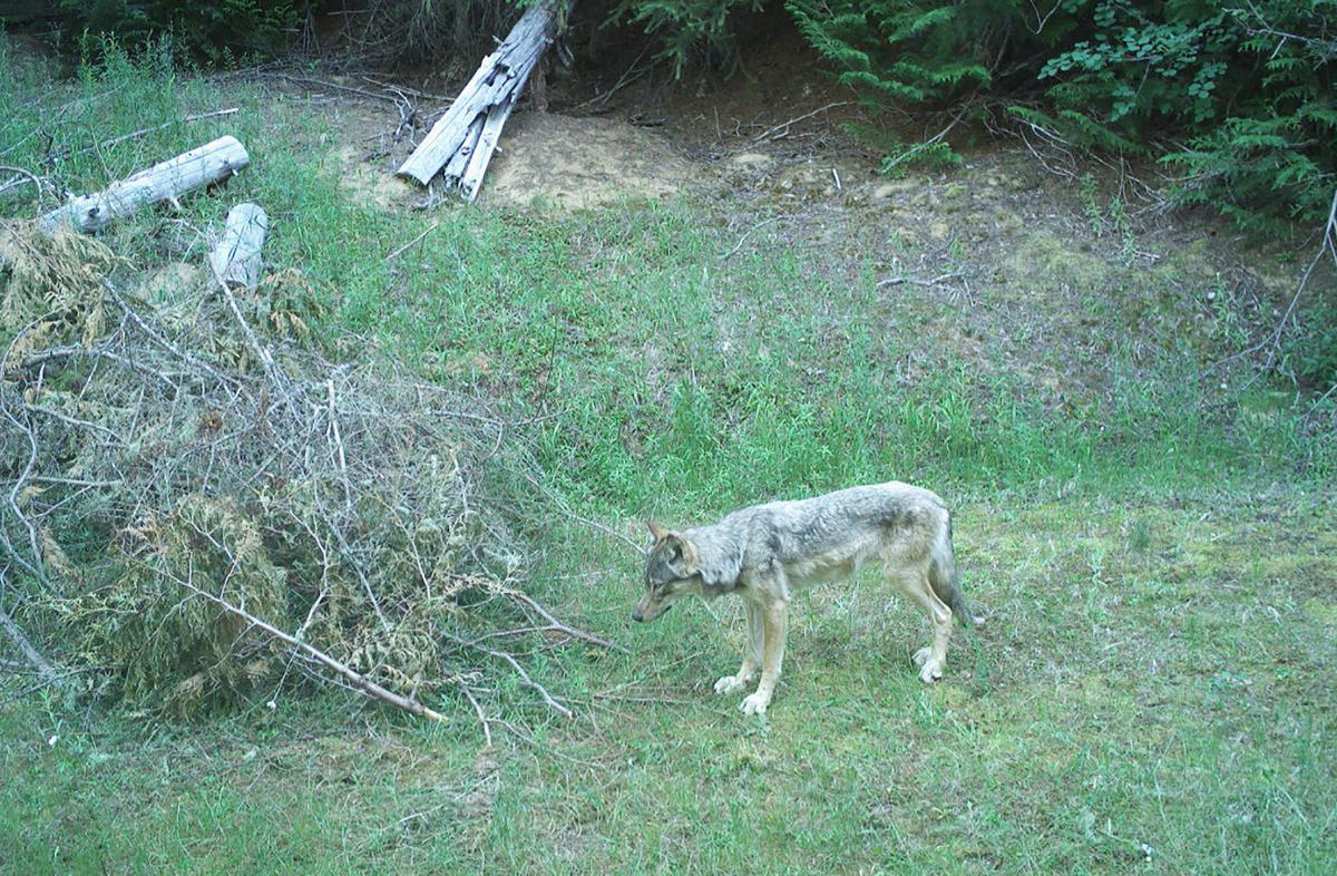 Idaho wolf camera (copy)