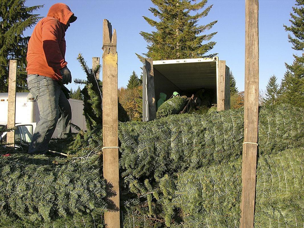 Growers shipping Christmas trees overseas