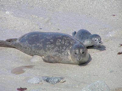 Washington farmers: Seals thwart salmon recovery