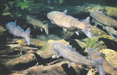 Bull trout lawsuit dismissed as moot
