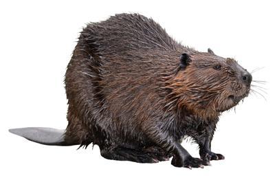beaver 19-11-13s