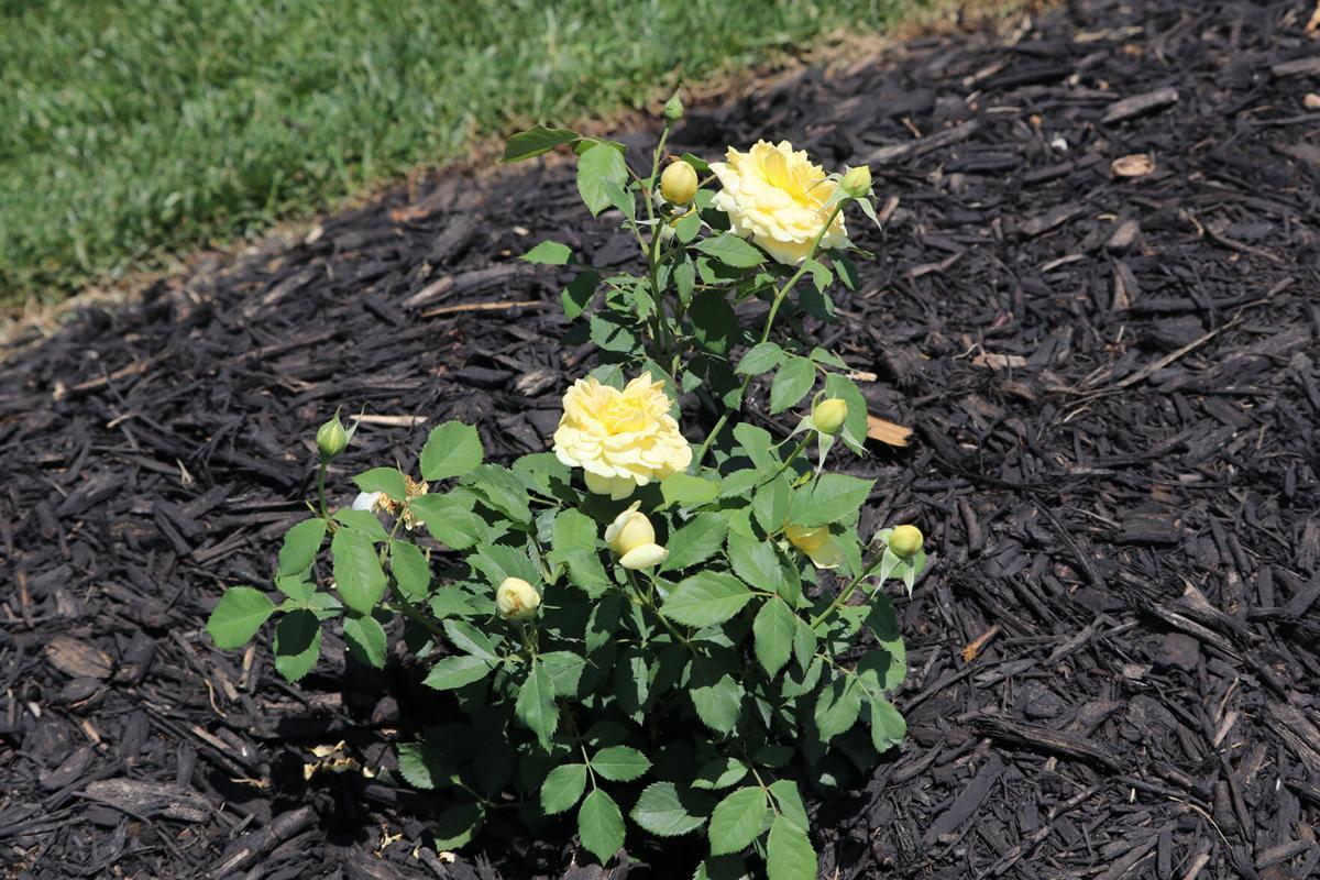 orr rose garden2 21-07-14