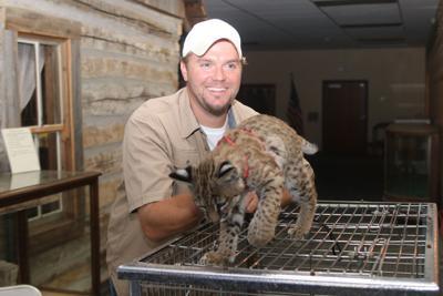 Second bobcat