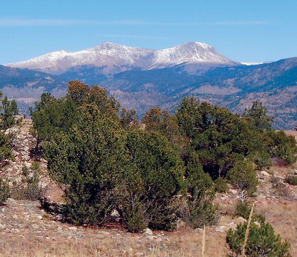 Piñon pine trees