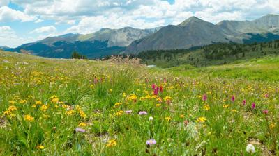 Cottonwood Pass wildflowers