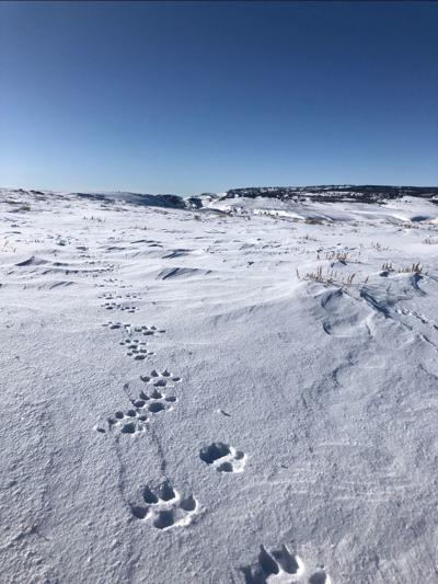 Moffat County wolf tracks