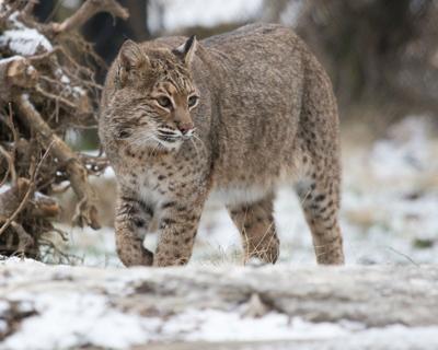 Bobcats seen in Northeast Ohio