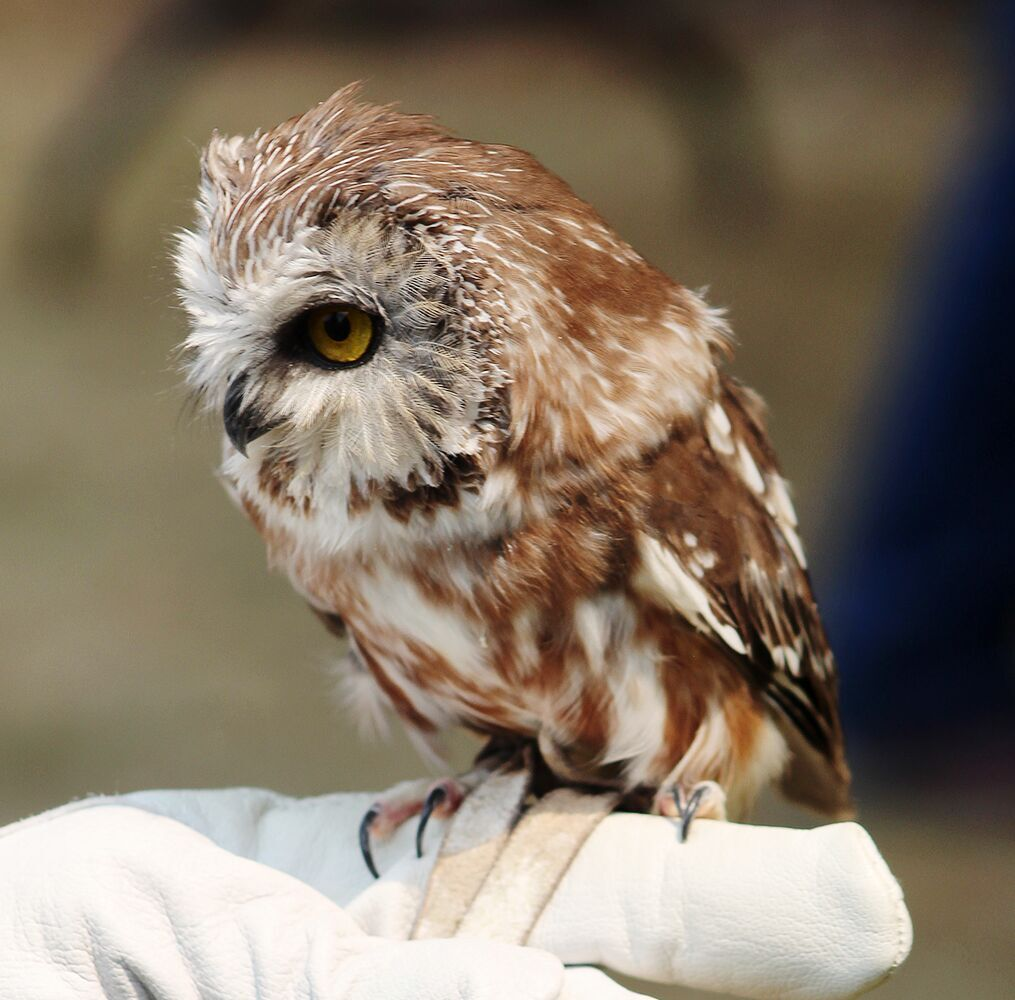 Olive is a saw whet owl