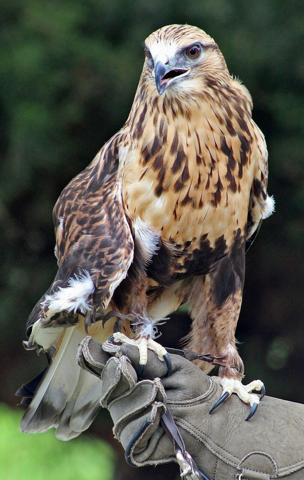 Rough legged hawk Rowdy