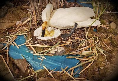 Learn about swan reintroduction on August 24