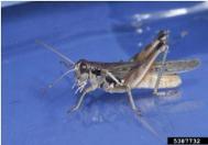 Migratory grasshopper.