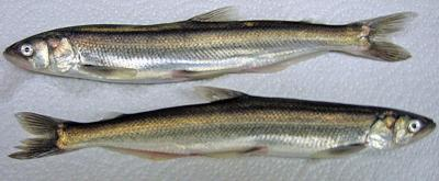 Smelt fisheries set to open on Cowlitz, Columbia rivers