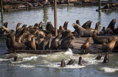 California sea lion population rebounds
