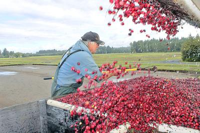 Peninsula cranberry harvest