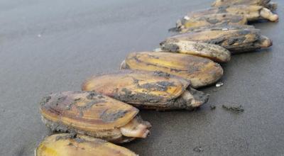 Razor clams on a beach