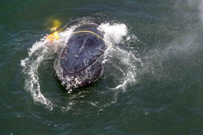 Industry, agencies working to avoid whale entanglements