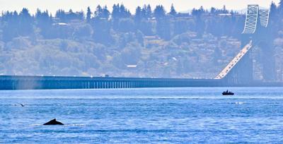 Humpback by Astoria-Megler Bridge