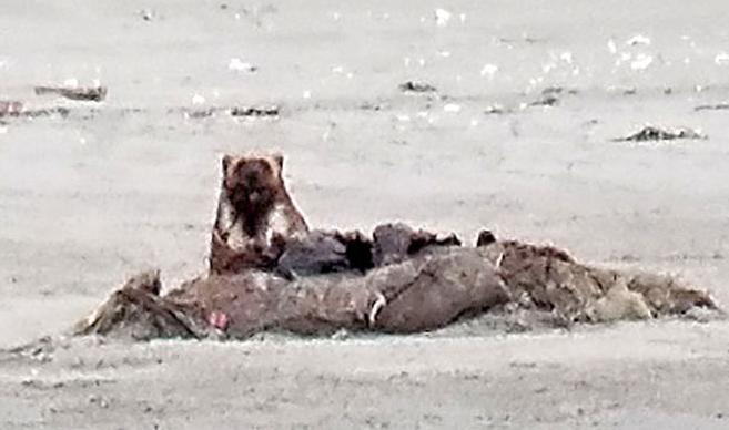 Rare beast visits the beach: Wolverine confirmed in Pacific County