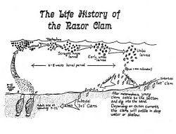 Fish & Feathers: How do razor clams reproduce?