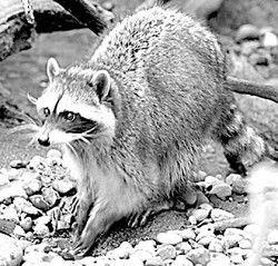 Living With Northwest Wildlife: Washington raccoons