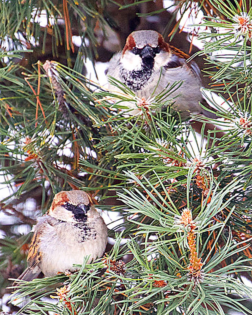 Male house sparrows