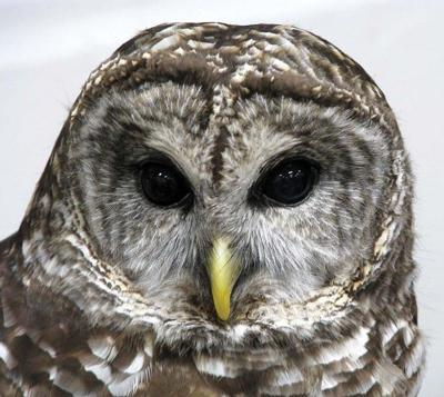 High numbers of barred owls likely in Pacific Northwest forests