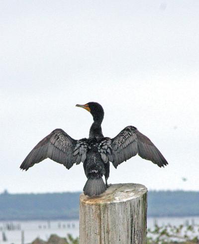 Eagles wreck romantic mood for cormorants