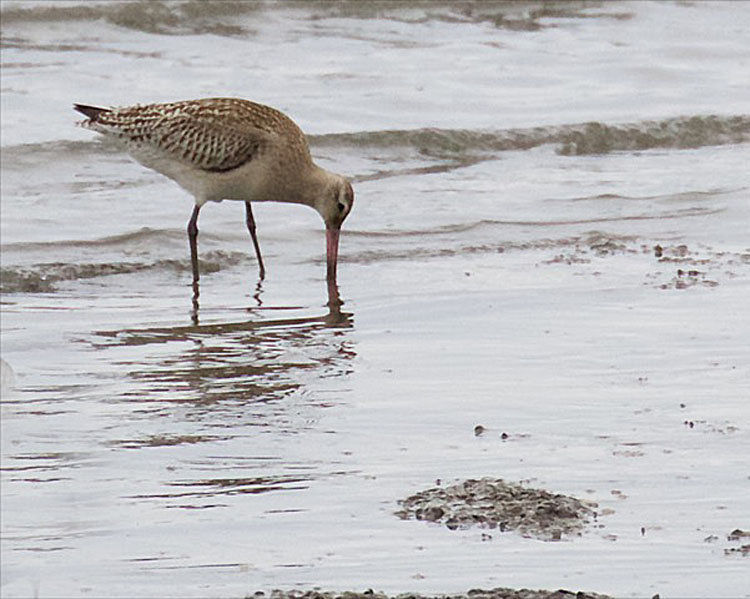 Birdwatching: Another rare godwit seen in Ilwaco