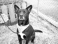 South Pacific County Humane Society Pet Report: Brodie: Smart and sensitive dog needs some one-on-one TLC