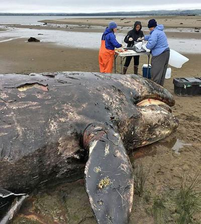 Whale calf died after getting tangled in crab lines