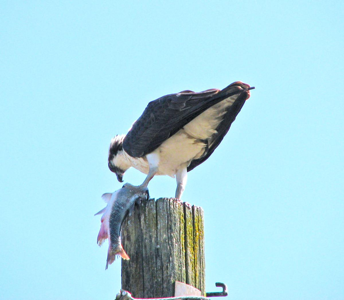 Osprey eating sucker