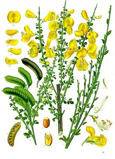 Ask a Master Gardener: Scotch broom continues to invade rural landscape