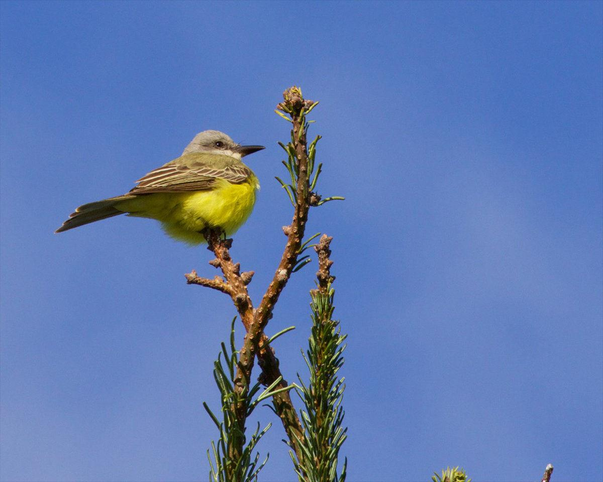 Birdwatching  Tropical kingbird, a first for Willapa National Wildlife Refuge