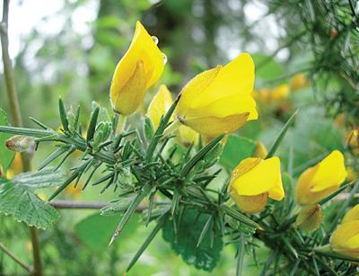 Best time to start  fighting gorse is right now