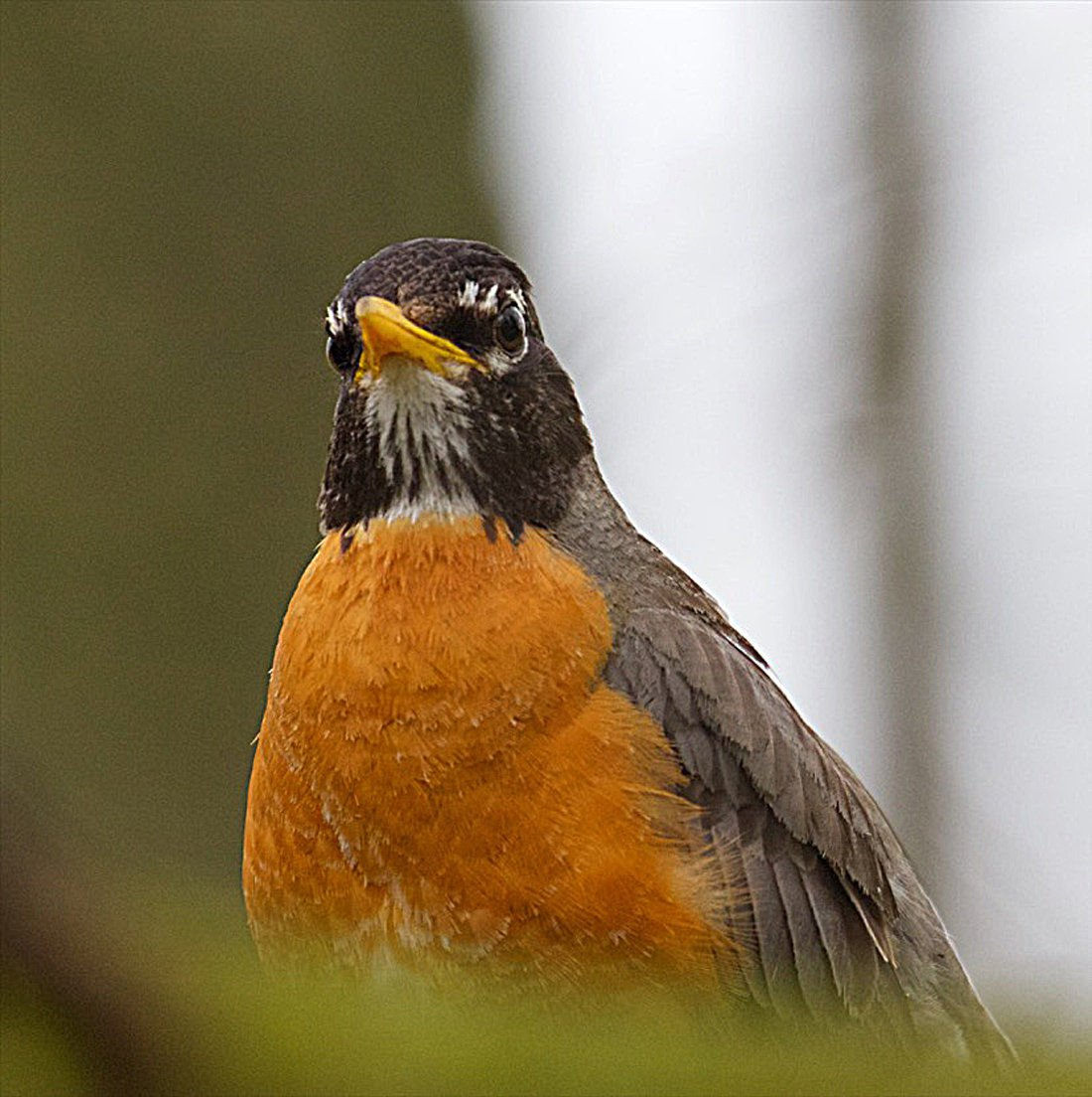 Birdwatching A most extraordinary species: The American robin