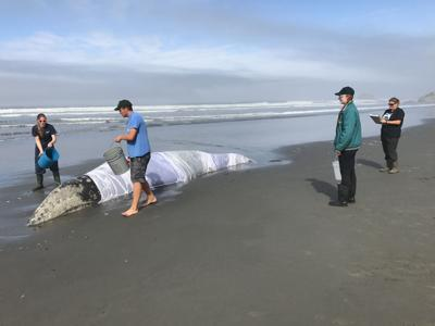 Rescue effort frees whale stranded in Olympic National Park