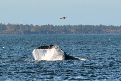 Humpbacks reported inside Columbia