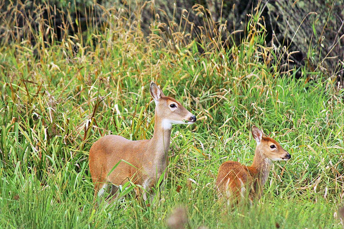 Columbian white-tailed deer: No longer endangered in the Columbia floodplain