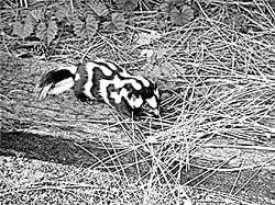 Living with Northwest Wildlife: Washington skunks