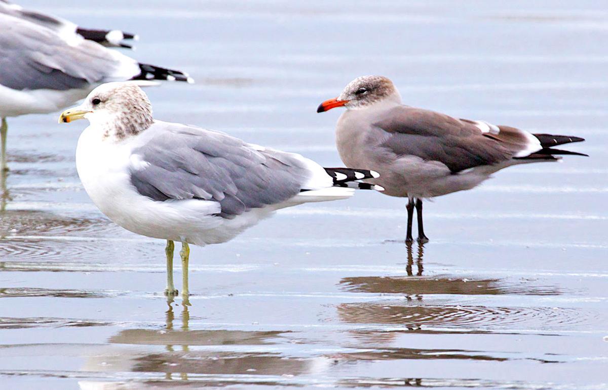 California gulls (left) and Heermann's gulls