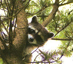 Raccoons cute but potentially dangerous