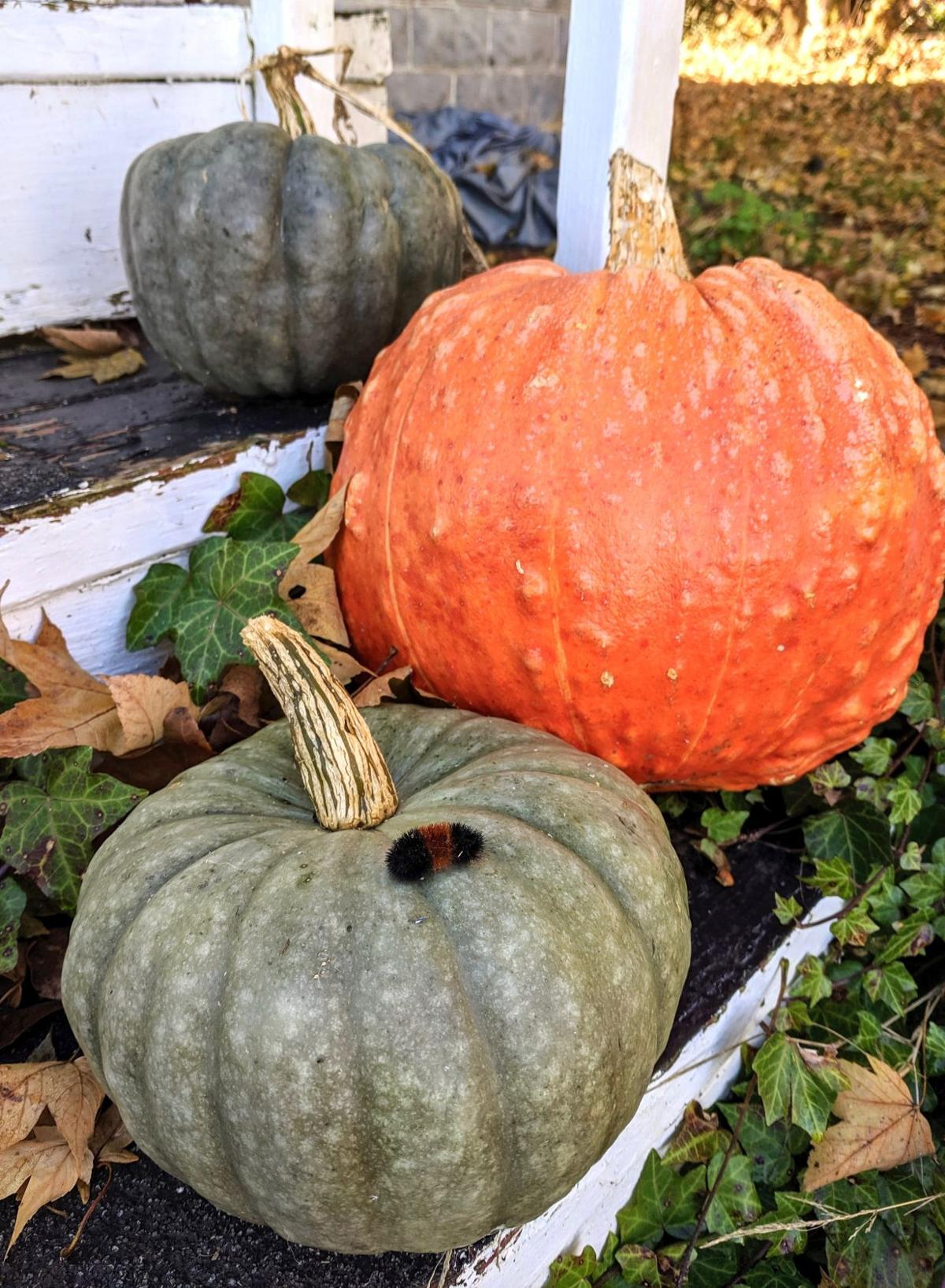 Woolly bear pumpkin